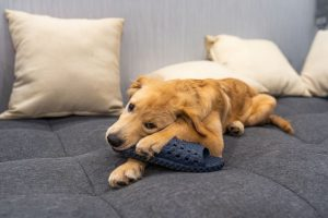Golden chewing on a flip flop